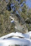 Leopardo de neve adulto Fotografia de Stock