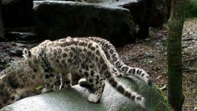 Leopardo de neve com gatinhos novos vídeos de arquivo