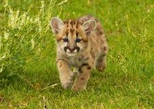 Leopardo de neve do bebê Foto de Stock Royalty Free