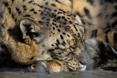 Leopardo de neve do sono Imagem de Stock Royalty Free