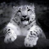 Leopardo de neve em uma rocha Fotos de Stock Royalty Free
