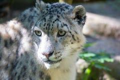 Leopardo de neve - Irbis imagens de stock royalty free