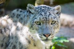 Leopardo de neve - Irbis foto de stock royalty free