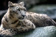Leopardo de neve - Irbis Uncia do Panthera imagem de stock
