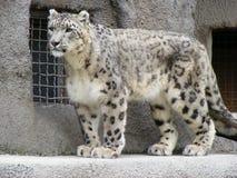 Leopardo de neve no parque fora Fotografia de Stock Royalty Free
