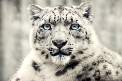 Leopardo de neve, predador especial da montanha fotografia de stock royalty free