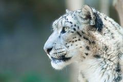 Leopardo de neve que olha ao redor foto de stock royalty free