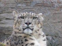 Leopardo de neve que olha para fora no mundo imagem de stock