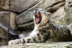 Leopardo de neve, uncia de Uncia Fotografia de Stock Royalty Free