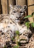 Leopardo de neve, uncia de Uncia Fotografia de Stock