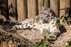 Leopardo de neve, uncia de Uncia Imagens de Stock