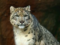Leopardo de neve (uncia do Panthera) Foto de Stock Royalty Free