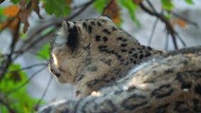 Leopardo de neve - uncia do Panthera de Irbis filme