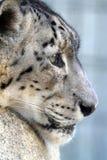 Leopardo de nieve foto de archivo