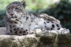 Leopardo de nieve Fotografía de archivo libre de regalías