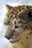 Leopardo de nieve fotos de archivo libres de regalías