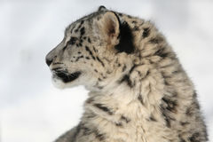 Leopardo de nieve Fotos de archivo