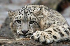 Leopardo de nieve Fotografía de archivo