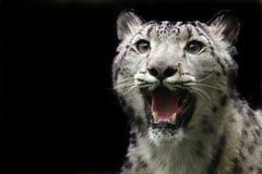 Leopardo de nieve Imagen de archivo libre de regalías