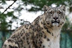 Leopardo de nieve Imágenes de archivo libres de regalías