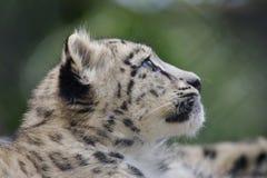 Leopardo de nieve Cub Fotografía de archivo libre de regalías