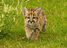 Leopardo de nieve del bebé Foto de archivo libre de regalías
