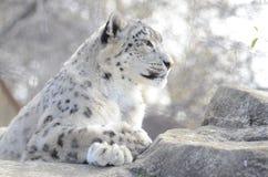 Leopardo de nieve en rocas imagen de archivo