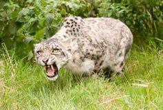 Leopardo de nieve que gruñe imagenes de archivo