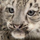 Leopardo de nieve, uncia de Uncia o Panthera uncial Imagenes de archivo