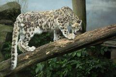 Leopardo de nieve (uncia del panthera) Fotos de archivo