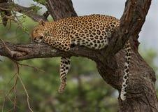 Leopardo de reclinación fotografía de archivo libre de regalías