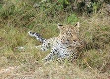 Leopardo de reclinación imagen de archivo