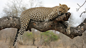 Leopardo de reclinación OM un árbol fotografía de archivo