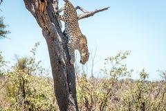 Leopardo de salto no parque nacional de Kruger, África do Sul foto de stock