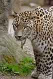 Leopardo de Sri Lanka fotografía de archivo
