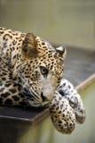Leopardo de Sri Lanka imagens de stock