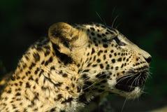 Leopardo de Sri Lanka Foto de archivo