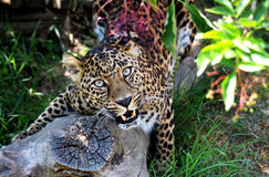 Leopardo de Stuning que esmalta en usted Imagenes de archivo
