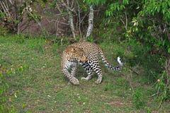 Leopardo defensivo Fotografía de archivo