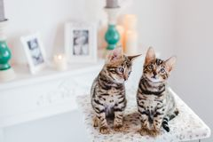 Leopardo dei babys dei gatti del Bengala Fotografia Stock