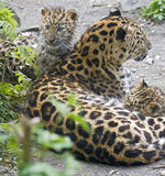 Leopardo del Amur immagine stock libera da diritti
