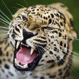 Leopardo del Amur Fotografie Stock