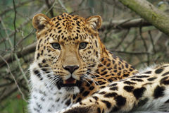 Leopardo del Amur Immagini Stock
