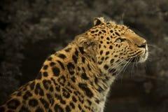Leopardo del Amur fotografie stock libere da diritti