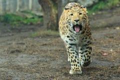Leopardo del Amur Fotografia Stock Libera da Diritti