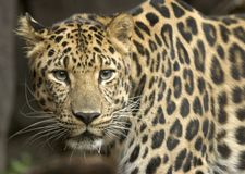 Leopardo del Amur Fotografia Stock