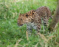 Leopardo del Amur che Prowling attraverso l'erba lunga Immagine Stock
