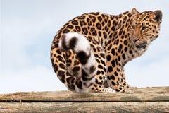 Leopardo del Amur che si gira verso lo sguardo dietro fotografia stock