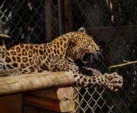Leopardo del bambino Immagine Stock