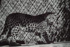 Leopardo del bambino Immagini Stock Libere da Diritti